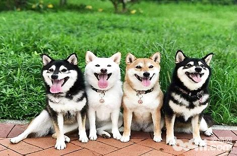 根据柴犬舌头的颜色能判断狗狗是否健康吗?