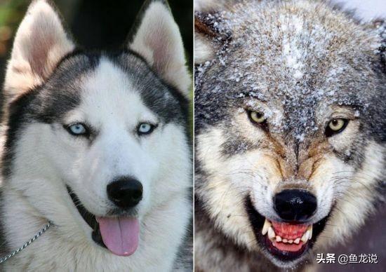 二哈和狼的基因相似度