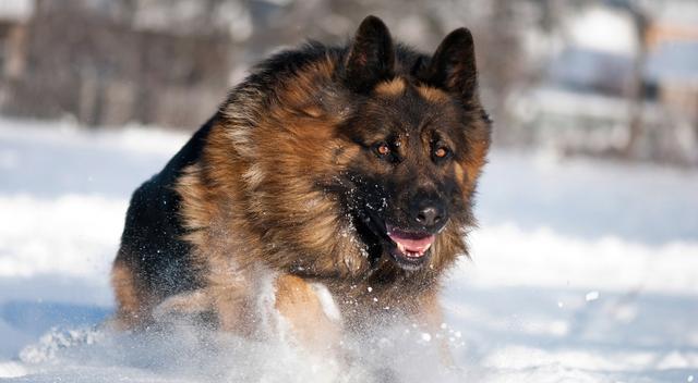 哪种犬最凶猛?凶猛恶犬