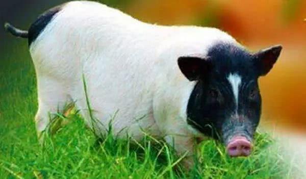 小香猪的肉能吃吗?