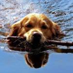 金毛寻回猎犬